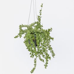 키우기쉬운 행잉식물 디시디아 밀리언하트 공기정화식물