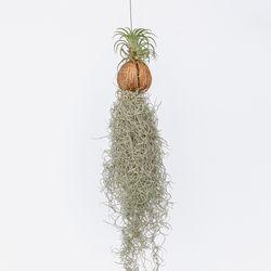 키우기쉬운 행잉식물 수염틸란드시아 에어플랜트 공기정화식물
