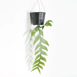 키우기쉬운 공기정화 행잉식물 크리소카디움 외대 에어플랜트