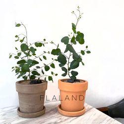 플라랜드 공기정화식물  유칼립투스 폴리안 테라코타 토분