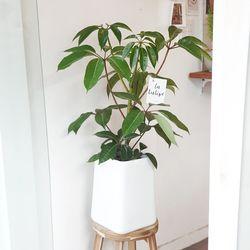 공기정화식물 대엽 홍콩야자 대형화분(서울경기지역무배)
