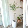 공기정화식물 유칼립투스 대형화분(서울경기지역무배)