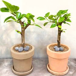 플라랜드 미세먼지 공기정화식물 가지 뱅갈고무나무 토분