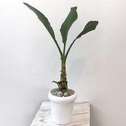 플라랜드 인테리어 공기정화식물 황금연꽃 FRP화분