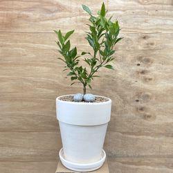 플라랜드 실내 공기정화식물 열매나무 한라봉나무 화이트 토분