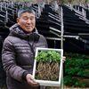 자연산삼농장 금산 2년근 새싹삼 100뿌리