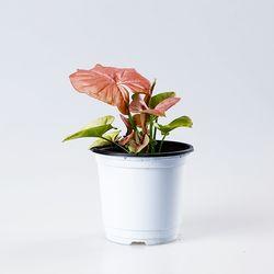 핑크 싱고니움 1포트