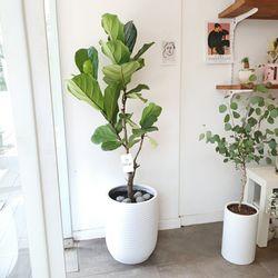 공기정화 떡갈고무나무 대형 120-140 cm 화분(서울경기지역가능)