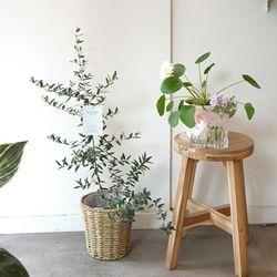 라탄 바구니 속 올리브 공기정화식물