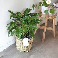라탄 바구니 속 공기정화식물 셀렘