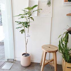 공기정화식물 황칠나무 100-120cm 핑크화분(서울경기지역가능)