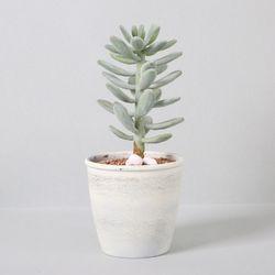 다육식물 다육이 미니화분 월미인 29cm