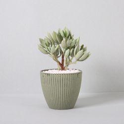 다육식물 다육이 미니화분 에케베리아화사 23cm