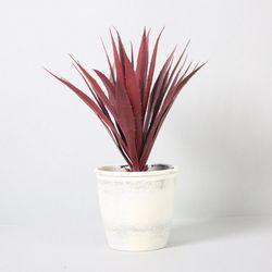 다육식물 다육이 미니화분 스몰스워드부쉬 36cm