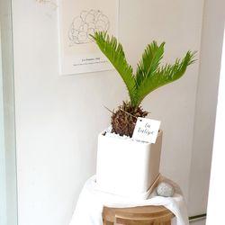 이국적인 소철나무 화이트화분 35-50cm