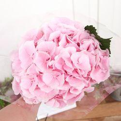 플플 수국 핑크 생화꽃다발 (OPP포장)