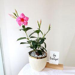 골드라인 공기정화식물-만데빌라