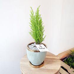 골드라인 공기정화식물-율마