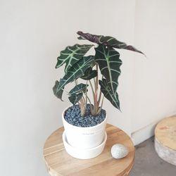 거북이 알로카시아 아마조니카 화이트화분 35-40cm