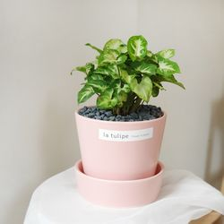 공기정화식물 싱고니움 핑크화분 20-25cm