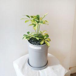 매력적인 무늬홍콩야자 그레이화분 30-35cm