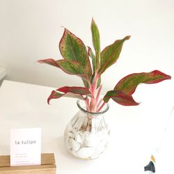 수경재배 공기정화식물 유리병세트-오로라엔젤