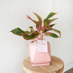 잎이 예쁜 오로라엔젤 핑크화분