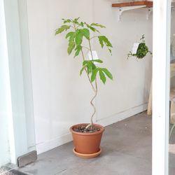 감성식물 황칠나무 토분 중대형 90-100cm(서울경기만)