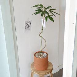 곡선이 멋진 황칠나무 토분 80-90cm(서울경기만가능)