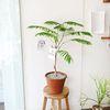 고급 플랜테리어 자귀나무 토분 80cm(서울경기만가능)