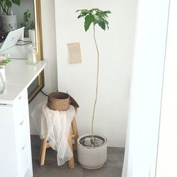 외목대 황칠나무 스톤화분 대형 120-130cm(서울경기만가능)