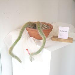 희귀식물 원숭이꼬리 선인장 토분
