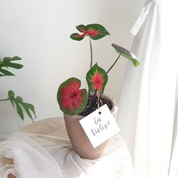 고급식물 칼라디움 로얄플러쉬 모카토분
