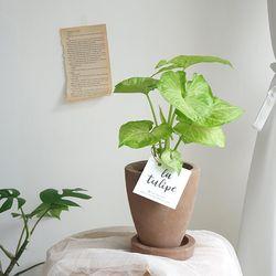 공기정화식물 싱고니움 모카토분