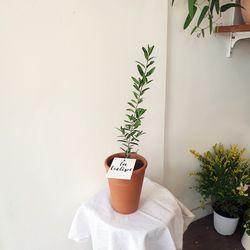 올리브나무 토분