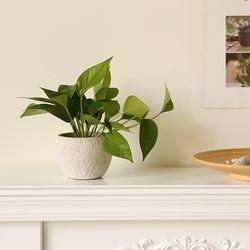 [plant] 스킨답서스 뉴트럴 식물화분
