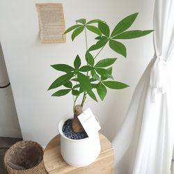 이 시기에 필수 공기정화식물 파키라 중형 50cm