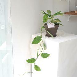 실내공기정화식물 몬스테라 카스테니안 토분