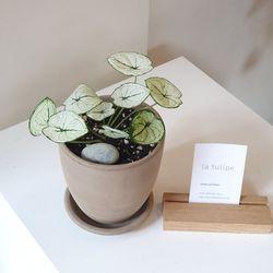 희귀식물 칼라디움 스노우화이트박 토분