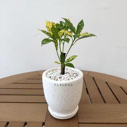 플라랜드 거실화분 공기정화식물 목크로톤 테라조 팽이화분