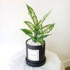 실내 공기정화식물 사파이어 블랙화분