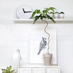 약용식물 꼬불꼬불 [황칠나무] 대품