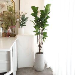 공기정화식물 떡갈나무 대형 화분 150cm(서울경기만가능)