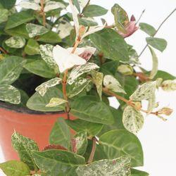 초설 1포트 - (공기정화식물)