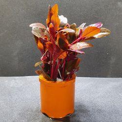 미미네 초보자용수초 하이그로필라 레드 1포트