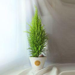 연두빛 싱그러운 공기정화식물 율마 (중형)