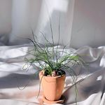 꼬불꼬불 스프링골풀 나선골풀 테라코타 팽이화분 2colors