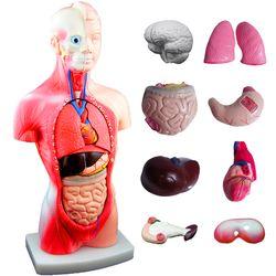 전문가용 인체해부상 인체모형 장기모형 인체해부도