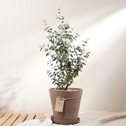 향기나는 식물 유칼립투스 토분 + 토분받침 set