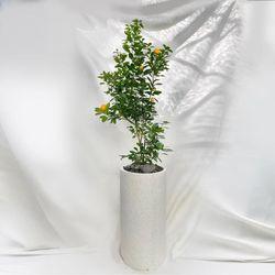[고급물받침세트] 공기정화식물 유주나무 특대형 테라조화분